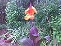 Canna cultivars 045.jpg