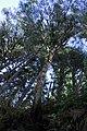 Canopy tree sol duc river d archuleta march 04 2015 (17313654561).jpg