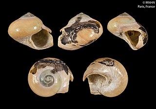 <i>Cantharidus antipodum</i> Species of gastropod