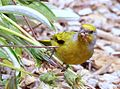 Cape Canary, Serinus canicollis, male at Kirstenbosch (8234945457).jpg