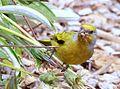 Cape Canary, Serinus canicollis, male at Kirstenbosch (8234945457).jpg