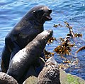 Cape Fur Seals (Arctocephalus pusillus) male quarrelling with a female ... (32628709318).jpg