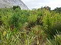 Cape Lowland Freshwater Wetland - restios and shrubs.JPG