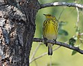 Cape May Warbler (37700898891).jpg