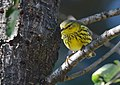 Cape May Warbler (37700900311).jpg