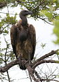 Cape Vulture, Gyps coprotheres at Kruger National Park (13911811003).jpg