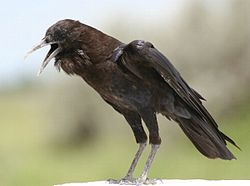 Cape crow.jpg