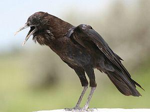 Cape Crow