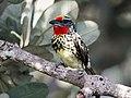Capito niger - Black-spotted barbet (female); Manaus, Amazonas, Brazil.jpg