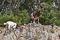 Capra aegagrus (Chèvre sauvage) - 60.jpg