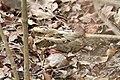 Caprimulgus climacurus -Gambia-8.jpg
