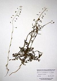 Capsella bursa-pastoris BW-1979-0529-0027.jpg