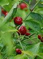 Capsicum annuum cv cherry (2943654507).jpg