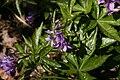 Cardamine-pentaphyllos-flowers.JPG
