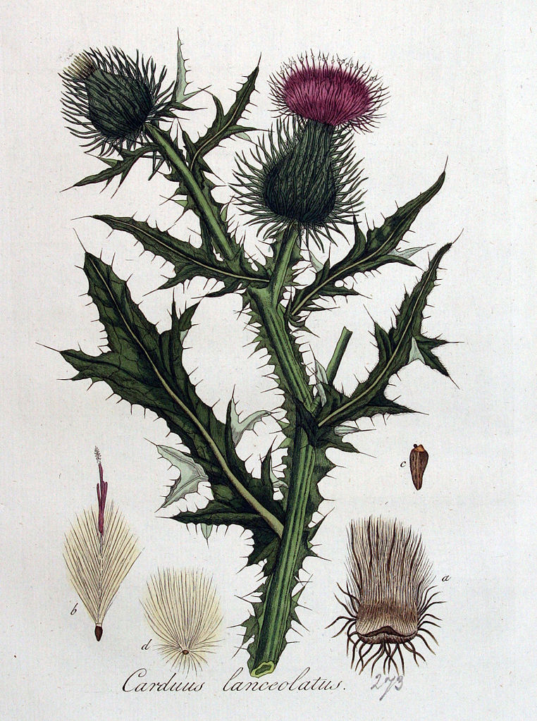 Pichliač obyčajný (Cirsium vulgare)