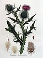 Carduus lanceolatus — Flora Batava — Volume v4.jpg