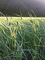 Carex melanostachya sl8.jpg