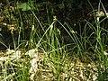 Carex pseudobrizoides2.JPG