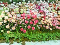 Carnation Varieties - Mother's Day -Ginza.jpg