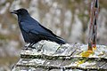 Carrion crow (Corvus corone) on a tavaillon roof.jpg