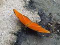 Casa delle farfalle - Dryas iulia 02.jpg