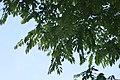 Cassia fistula 20zz.jpg