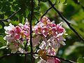 Cassia javanica (2478136713).jpg