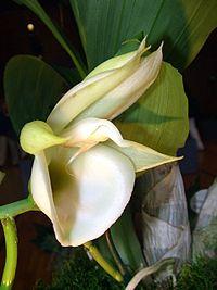 Catasetum pileatum Orchi 04.jpg