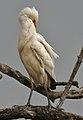 Cattle Egret (Bubulcus ibis) preening near Hodal Im Picture 2064.jpg