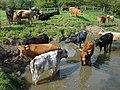 Cattle graze on Sudbury Common Lands - geograph.org.uk - 1023063.jpg