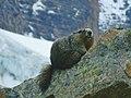 Cavell Meadows marmot.jpg