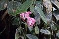Cavendishia tarapotana (Ericaceae) (29416456610).jpg