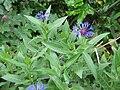 Centaurea montana clump2.jpg