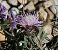Centaurea sp. - Flickr - S. Rae (1).jpg