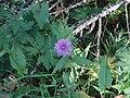 Centaurea uniflora - Méolans-Revel, Laverq 2.jpg