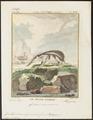 Centetes semispinosus - 1700-1880 - Print - Iconographia Zoologica - Special Collections University of Amsterdam - UBA01 IZ20900029.tif