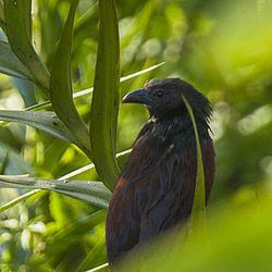 Centropus viridis.jpg