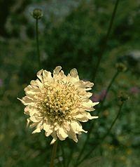 Cephalaria gigantea 2.jpg