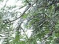 Cephalotaxus wilsoniana (4670948985).jpg