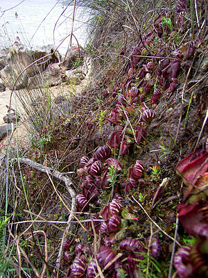 Cephalotus - Cephalotus follicularis in typical habitat in coastal SW-Australia