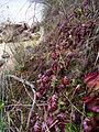 Cephalotus follicularis Hennern 4.jpg