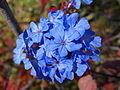 Ceratostigma willmottianum - Quarryhill Botanical Garden - DSC03386.JPG
