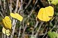 Cercis canadensis 20zz.jpg