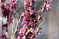 Cercis chinensis 2zz.jpg