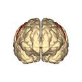 Cerebrum - precentral gyrus - anterior view.png