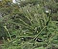 Cereus species is it W IMG 0747.jpg