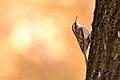 Certhia brachydactyla 105164924.jpg