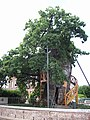 Chêne d'Allouville-Bellefosse 02.jpg