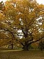 Chêne pédonculé - Jardin Botanique - Genève - panoramio (1).jpg