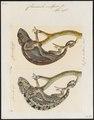 Chamaeleo vulgaris - 1700-1880 - Print - Iconographia Zoologica - Special Collections University of Amsterdam - UBA01 IZ12300009.tif